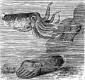 PSM V21 D771 Cuttle fishes swimming.jpg