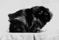 PSM V67 D204 Guinea pig with short smooth pigmented coat.png