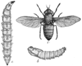 PSM V76 D216 A horse fly and its stages of development.png