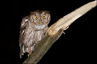 Pacific screech owl species of bird