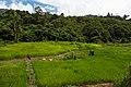 Padas-River-Valley Sabah Rice-Paddy-01.jpg