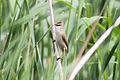 Paddyfield Warbler (Acrocephalus agricola) (8079441219).jpg