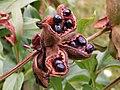 Paeonia peregrina Piwonia obca 2009-07-20 01.jpg