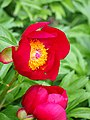 Paeonia peregrina Piwonia obca 2015-05-17 06.jpg
