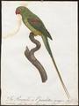 Palaeornis eupatria - 1796-1808 - Print - Iconographia Zoologica - Special Collections University of Amsterdam - UBA01 IZ18500039.tif