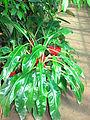 Palisota barteri (in a greenhouse) 01.JPG