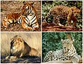 Panthera Diversity.jpg