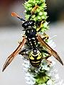 Paper Wasp - Polistes dominula (m) (2778227818).jpg