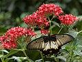 Papilio-pjt2.jpg