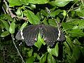 Papilio aegeus (2973536363).jpg