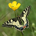 Papilio machaon Didier.jpg