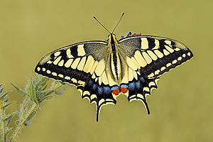 Papilio machaon ozby 015.jpg