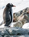 Paradise Bay Gentoo Penguin Antarctica (47284344872).jpg