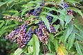 Park and Tilford Spring Garden Oregon-grape 03.JPG