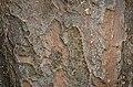 Parrotia persica (88-012-I) Bark.JPG