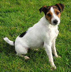 Image illustrative de l'article Parson Russell terrier