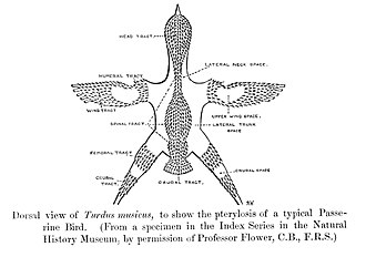 Pterylosis or the feather tracts in a typical passerine PasserinePterylosis.jpg