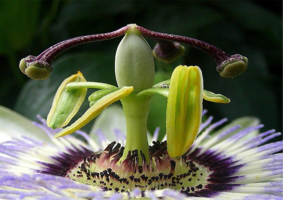 Passiflora. Flor da paixón. Oleiros 2