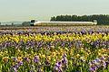 Passing iris fields (27041672452).jpg