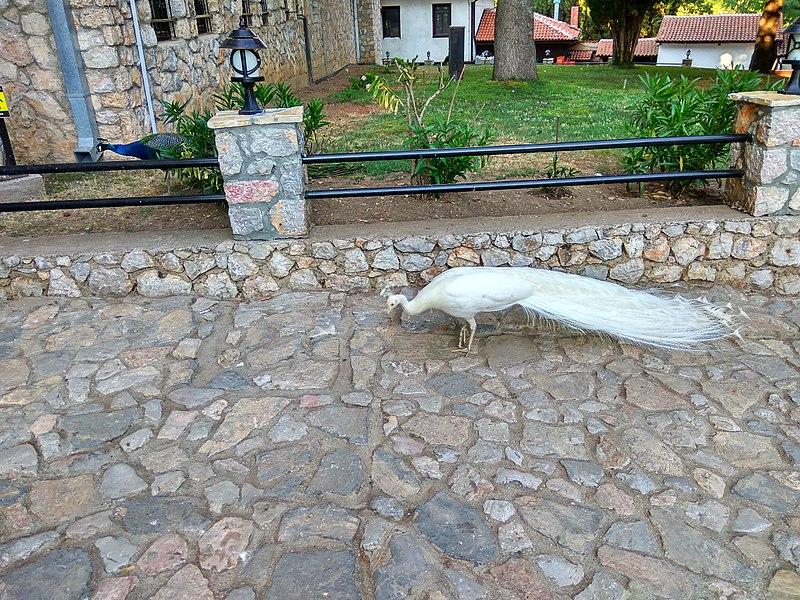 File:Pavo at St Naum Monastery 4.jpg