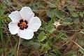 Pavonia glechomoides.jpg