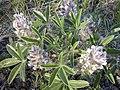 Pediomelum esculentum (Psoralea esculenta) (4015380565).jpg