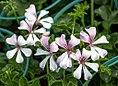 Pelargonium peltatum flower1.jpg