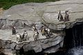 Penguins at Chester Zoo 1.jpg