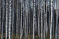 PermaLiv bjørk 07-05-21.jpg