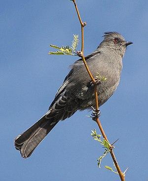 Phainopepla - Female in California, USA