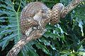 Phataginus tricuspis.jpg
