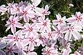 Phlox subulata Candy Stripe 5zz.jpg