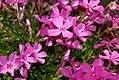 Phlox subulata Emerald Pink 0zz.jpg