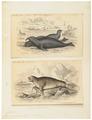 Phoca proboscidea - 1700-1880 - Print - Iconographia Zoologica - Special Collections University of Amsterdam - UBA01 IZ21100121.tif