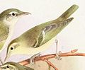 Phylloscopus nitidus 1889.jpg