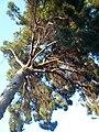 Pi pinyer del carrer Bosch i Gimpera P1510598.jpg