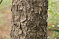 Picea glehnii 01.jpg