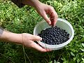 Picking blueberries a.JPG