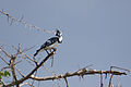 Pied Kingfisher - Queen Elizabeth National Park, Uganda (3).jpg