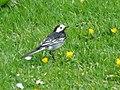 Pied Wagtail (Motacilla alba) - geograph.org.uk - 1349735.jpg
