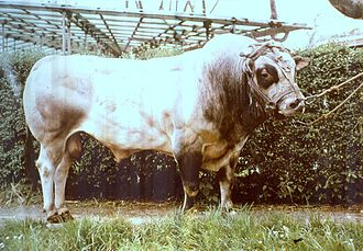 Piedmontese cattle - A Piedmontese bull
