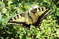 PikiWiki Israel 14388 Swallowtail.JPG