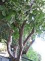 PikiWiki Israel 1443 Plants of Israel עץ...jpg