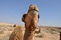 PikiWiki Israel 15205 Camel.jpg