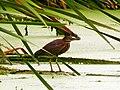 Pinckney Island National Wildlife Refuge (5958496890).jpg