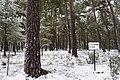 Pinos y Nieve - panoramio (1).jpg