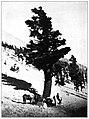 Pinus balfouriana plate 19.jpg