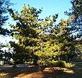 Pinus pungens.jpg