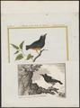 Pipra serena - 1700-1880 - Print - Iconographia Zoologica - Special Collections University of Amsterdam - UBA01 IZ16600217.tif