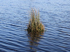 Common rush in shallow water